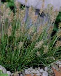 77 best ornamental grasses images on ornamental