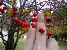 help identify thorny tree berries maple like leaves