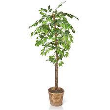 6 5 ficus tree in decorative container