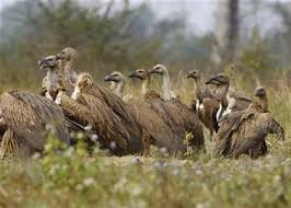 Seeking Vulture Vultures Important To Human Environment Should Stop