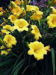 stella daylily hemerocallis stella d oro bluestone perennials