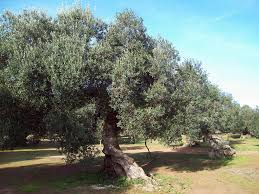 the culture of the olive tree in tunisia