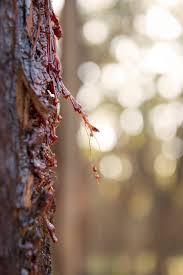 Eucalyptus Trees Leaking Of Eucalyptus Trees U2013 What To Do For Eucalyptus Tree Oozing