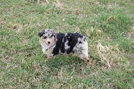 d b australian shepherds pedigrees chevreherd australian shepherds