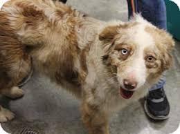 australian shepherd up for adoption philadelphia pa australian shepherd mix meet bella a dog for