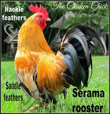 the chicken how to chickens male or female hen or
