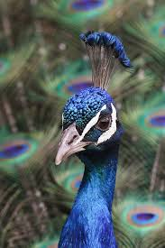 peacock closeup peacock bird peafowl and peacocks