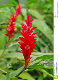 Red Ginger Flower - beautiful flower of red ginger plant royalty free stock photos