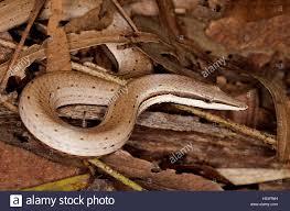 brown burton u0027s snake lizard australian legless lizard lialis