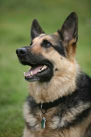 american pitbull terrier vs german shepherd european german shepherd vs american dog and cat