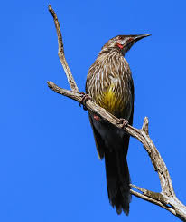 list of native australian plants birds identification of australian birds sydney and blue