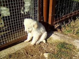 cani in cerca di casa cucciolo di maremmano 3 mesi cerca casa tesoriaquattroze