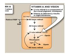 Vitamin A Deficiency Causes Night Blindness Vitamin A Retinoids Precursors Of Vitamin A Retin O L 1 Retin