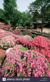 asia azalea azaleas bloom flower flowers garden holiday