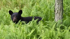 when is a black bear actually a blue bear u2013 cool green science