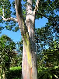Rainbow Eucalyptus Rainbow Eucalyptus Tree Business Insider