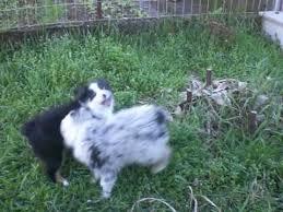 australian shepherd e bovaro del bernese pastore australiano cucciolo pandora e blanco australianshepherd