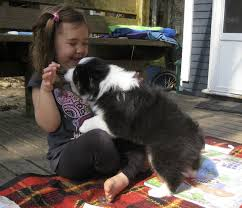 8 week old mini australian shepherd introducing emmylou sweet thing s