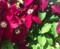 clematis vines appreciate a trellis trellis works