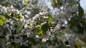 Tree With Little White Flowers - bright sunny spring day in the park by a light wind shakes the