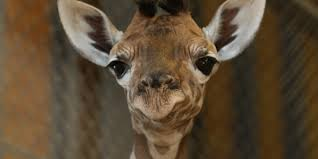 here u0027s why your facebook friends have become giraffes huffpost