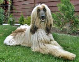 afghan hound puppies california afghan hound page 2 the universe of animals