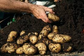 Container Gardening Potatoes - earth up potatoes in pictures gardenersworld com