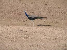 thar desert peacock at thar desert other birds 100 thousand photos