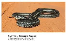 Found A Snake In My Backyard 50 Snakes You Might Come Across In Alabama Al Com