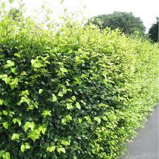 fagus sylvatica fagus sylvatica hedging buy green beech hedging