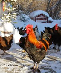 the chicken frostbite in backyard chickens causes