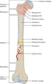 Appendicular Skeleton Worksheet 2 Structures Of The Skeletal System Lessons Tes Teach