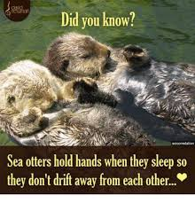 Sea Otter Meme - did you know scicomstation sea otters hold hands when they sleep so