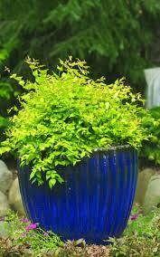 Shrubs For Patio Pots 47 Best Shrubs For Containers Images On Pinterest Proven Winners