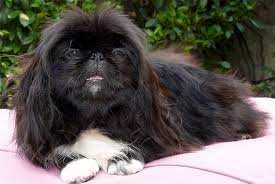 Pictures Of Blind Dogs Pekingese Dog Breed Information Pictures Characteristics U0026 Facts