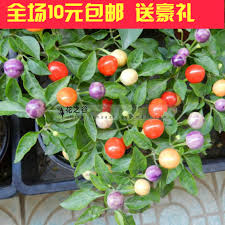 buy tm multicolored multicolored ornamental chili peppers