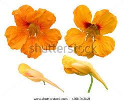nasturtium flower nasturtium stock images royalty free images vectors