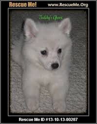 how big is american eskimo dog american eskimo dog blog u2015 rescueme org