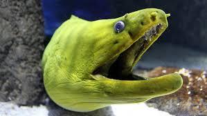 Seeking Eel Eel Archives Oregon Coast Aquarium