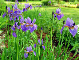 iris flowers siberian iris in the garden how to grow siberian iris plants
