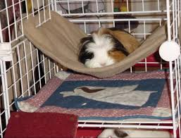 Cages For Guinea Pigs Photo 8 Of 39 Cavy Cages Bunk Bed Cage
