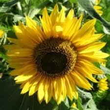 the 25 best black oil sunflower seeds ideas on pinterest black