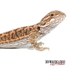 bearded dragons sale underground reptiles