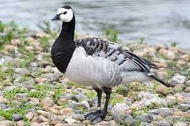 waterfowl association geese