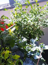 flieder balkon gardening gemüse auf dem balkon teil 2 wie pflanze ich