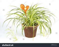 Spider Plant by Spider Plant Brown Pot Decoration Heart Stock Photo 98082677