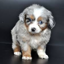 australian shepherd dachshund popular pups husky puppies pug lab dogs labrador retriever yorkie