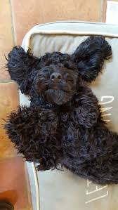 70 best black cockapoos images on pinterest black puppies and