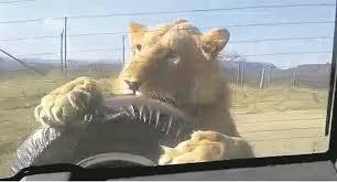 sle resume journalist position in kzn wildlife ezemvelo accommodation watch lion turns tyre into a chew toy news24