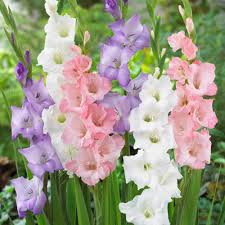 gladiolus flowers zyverden gladiolus best pastel blend bulbs set of 25 11256